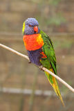 En colorfullpapegoja på zooen Arkivbilder