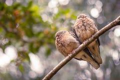 En copple av fåglar, en duvahjärta royaltyfri bild