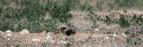 En creusant le support de bébés de hibou en dehors de leur nid creusez dans le Colorado du sud image stock