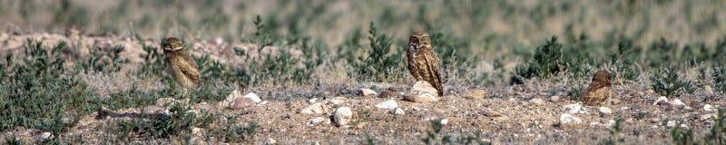En creusant le support de hiboux en dehors de leur nid creusez dans le Colorado du sud images libres de droits