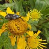 En Ctenucha Tiger Moth på en solros Royaltyfria Bilder