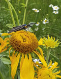 En Ctenucha Tiger Moth på en solros Royaltyfri Fotografi
