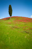 En cypress Royaltyfria Bilder