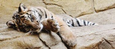 En dag i livet av en tiger Royaltyfri Bild