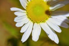 En Daisy Close Up royaltyfria foton