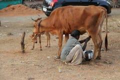 En dam mjölkar försäljaren med en ko och en kalv Fotografering för Bildbyråer