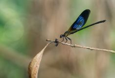 En damselfly med den blåa metalliska vingen och svart arkivbilder