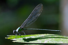 En damselfly under en ljus morgonsol Royaltyfri Bild