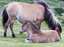 En Dartmoor ponnyMare och ett föl, Devon, England Arkivfoto