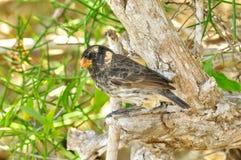 En Darwin Finch arkivbilder
