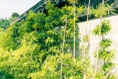 En dehors des murs de la croissance en bambou Photo stock