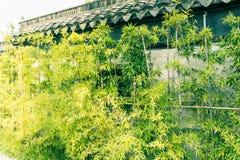 En dehors des murs de la croissance en bambou Images libres de droits