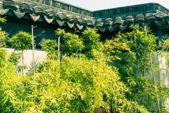 En dehors des murs de la croissance en bambou Image stock