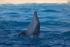 En delfin som utför på waterparken royaltyfri fotografi