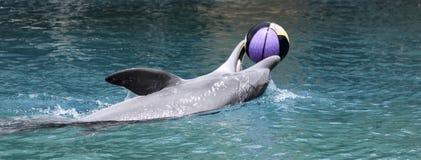 En delfin spelar med en basket på yttersidan Arkivbilder