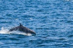 En delfinbanhoppning ut ur vattnet Royaltyfri Fotografi