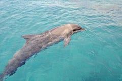 En delfindans under vattnet i Röda havet, solig dag med skämtsamma djur, beskydd och skydd av djur i delfin royaltyfria bilder