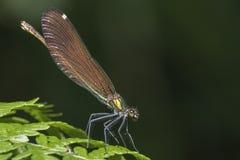 En demoiselledamselfly i den nya skogen royaltyfri foto