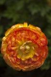 En detaljerad orange zinnia för singel Fotografering för Bildbyråer