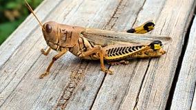En differentiell gräshoppa på den gamla träräcket fotografering för bildbyråer