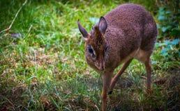 En Dik-Dik, en av de minsta antilopen fotografering för bildbyråer