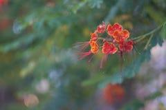 En dingla filial av en blommande callistemonbuske arkivbilder