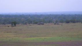 En distancia es la madre blanca rara del rinoceronte con el bebé Kenyan Reserve almacen de video