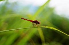 En djärv röd slända på grönt gräs arkivfoton
