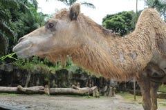 En djup syn av en kamel som tuggar gräs Fotografering för Bildbyråer