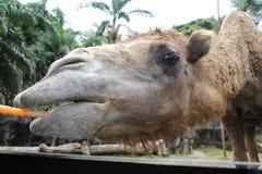 En djup syn av en kamel som tuggar moroten i den Taman safari, Bogor, Indonesien Royaltyfri Foto