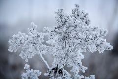 En djupfryst växt som täckas med frost Royaltyfri Foto