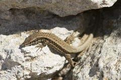 En djur ödla för reptil som går bland stenarna arkivfoton