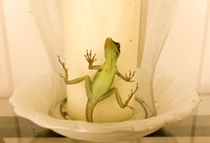 En ödla som fångas i en glass stearinljusskugga Arkivbild
