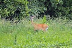 En Doe i gräset Royaltyfria Bilder