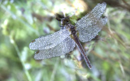 En dold slända för dagg Arkivfoto