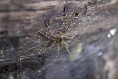En Dolomedes spindel upp slut Royaltyfri Fotografi