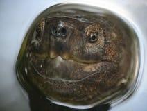 En doppad sköldpadda ytbehandlar för en andedräkt royaltyfria foton