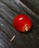En dotless nyckelpiga för röd polka Arkivbild
