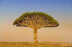 En drake i mitten av trädet Endemiskar Yemen royaltyfria foton