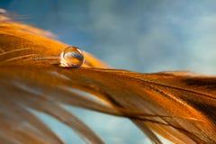 En droppe av dagg på en guld- fjäder för fågel` s Brun fjäder på den blåa bakgrunden Selektivt fokusera royaltyfri foto