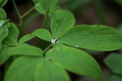 En droppe av dagg p? ett gr?nt blad N?rbild makrofoto placera text royaltyfri foto