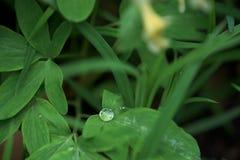 En droppe av dagg p? ett gr?nt blad N?rbild makrofoto placera text royaltyfri fotografi