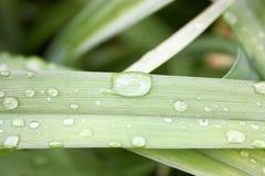En droppe av regn på ett grönt grässtrå Arkivfoton