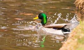 En Duck Landing i en sjö Arkivbilder