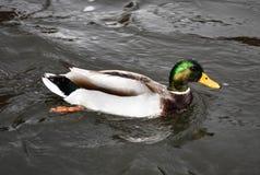 En Duck Swims i ett damm Fotografering för Bildbyråer
