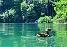 En Duck Swims i Sapphire Water på sjöar för Kroatien` s Plitvice Royaltyfri Foto