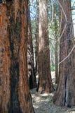 En dunge av den statylika sequoian fotografering för bildbyråer