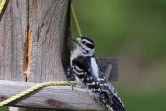 En dunig hackspett på en fågelförlagematare Fotografering för Bildbyråer