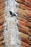 En duva på taket Royaltyfri Foto