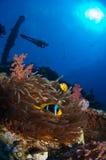 En dykare observera en härlig rev med anemonfisken Arkivbild